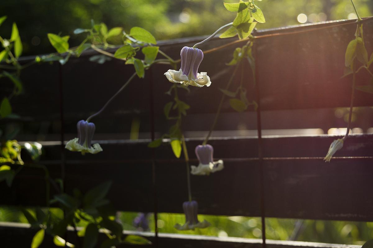 夕日の中で咲くクレマチス 貴婦人のたしなみ