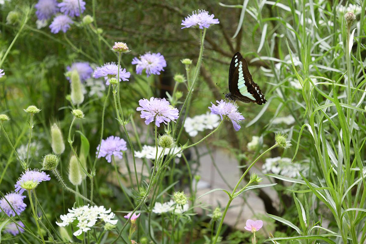 蝶が止まったクナウティア