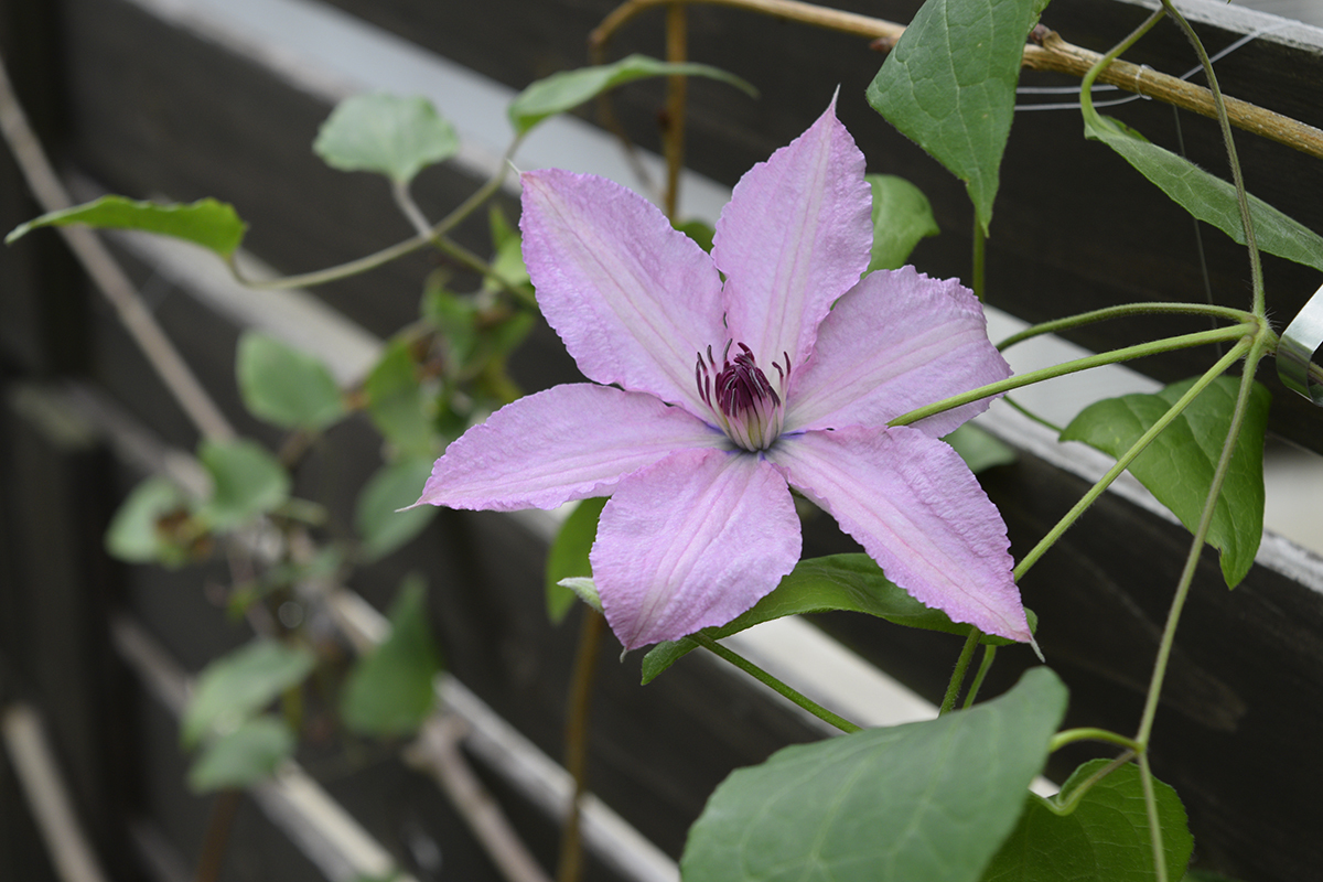 ユキオコシの鉢から咲いた謎のクレマチス