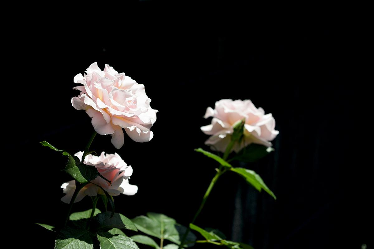 昼間のバラ