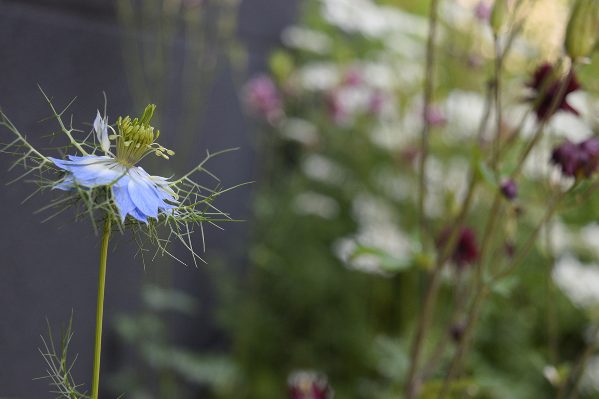 こぼれ種から咲いたニゲラ