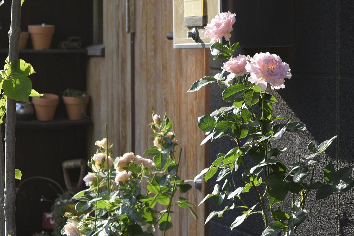夕方のバラ