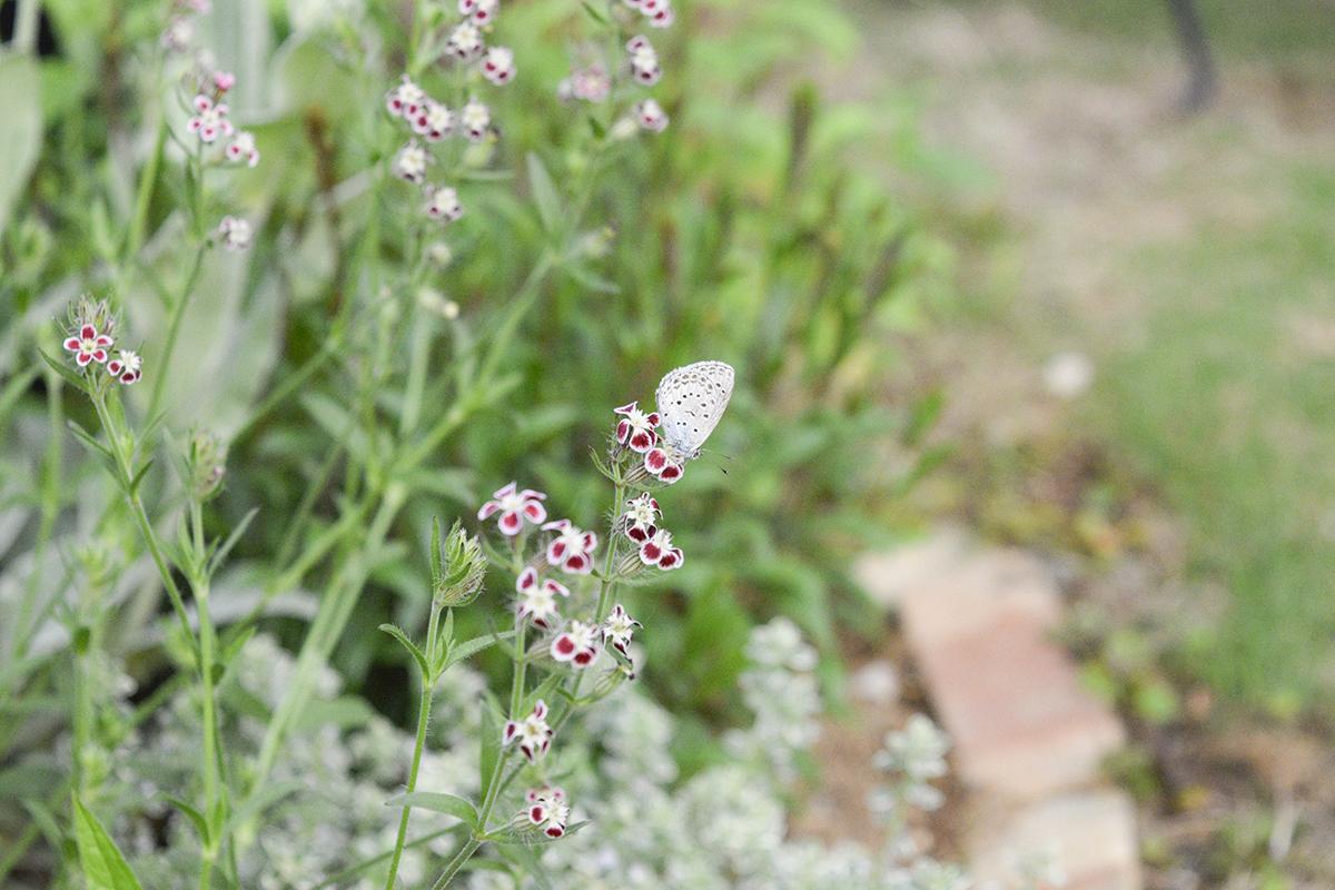 蝶がとまったシレネガリカ
