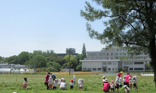 blog290511芋苗植え (25)