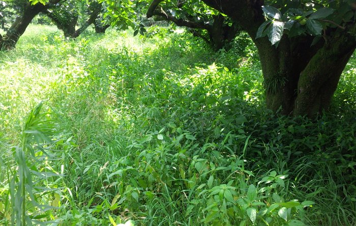 柿園刈り前