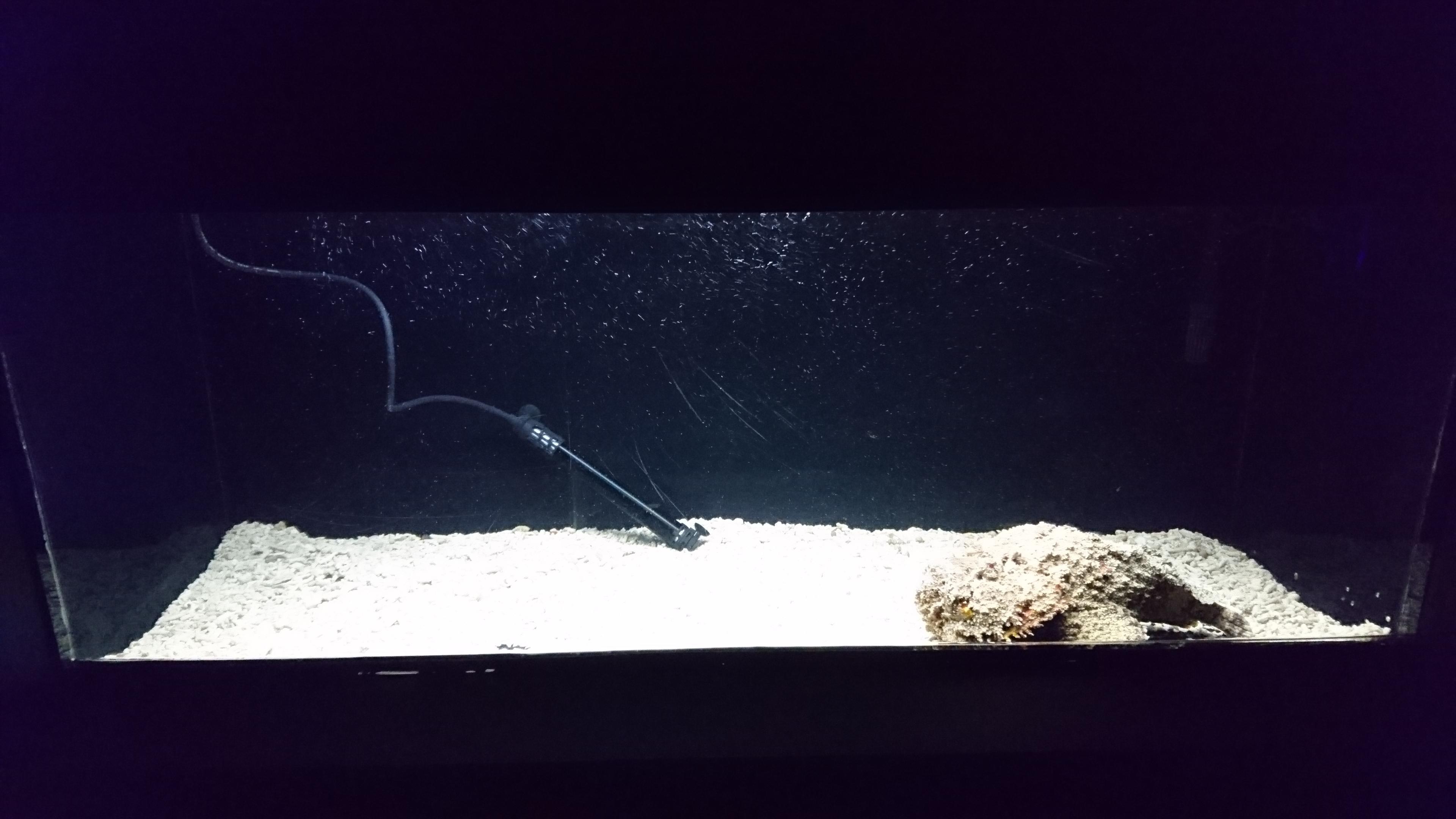 オニダルマオコゼ 水槽