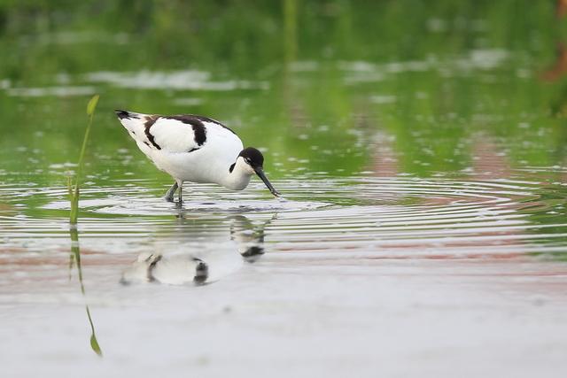 ソリハシセイタカシギ (1)