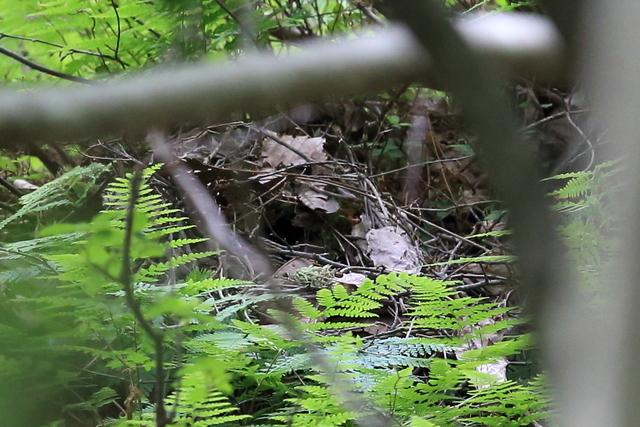 ヤイロチョウ巣作り (7)