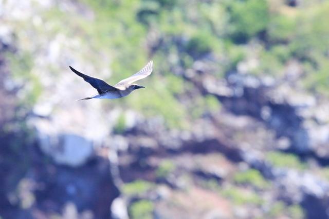 アカアシカツオドリ若鳥 (1)