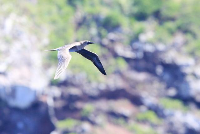 アカアシカツオドリ若鳥 (2)