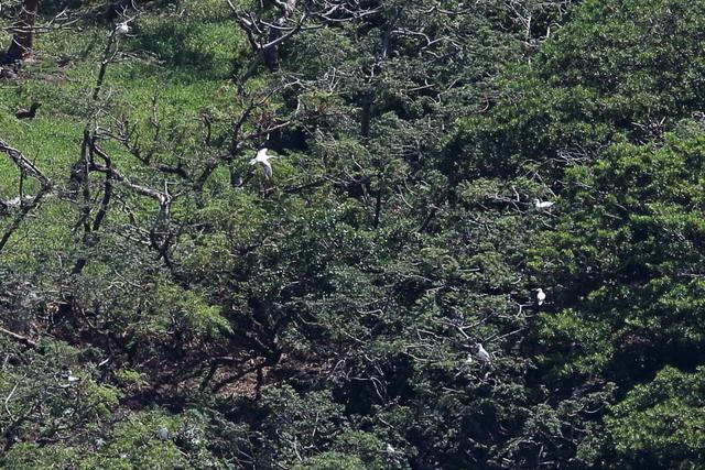 アカアシカツオドリ繁殖地北硫黄島