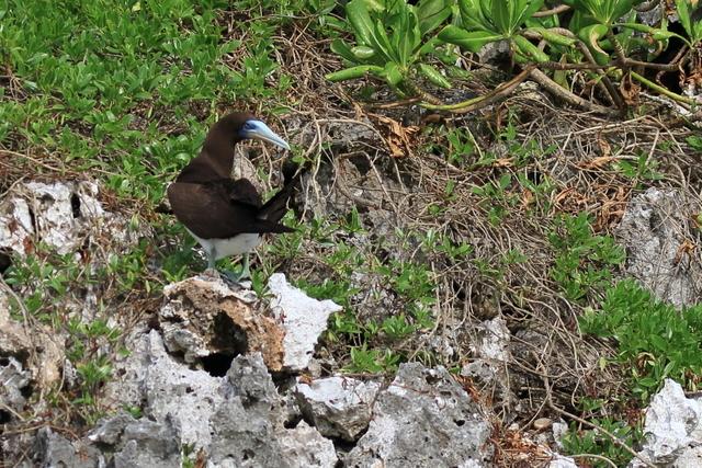 カツオドリ繁殖地 (3)
