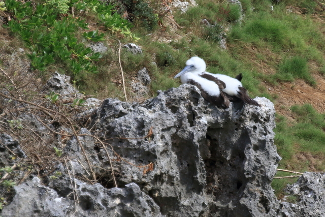 カツオドリ繁殖地 (6)