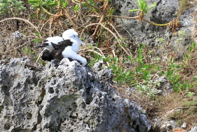 カツオドリ繁殖地 (8)