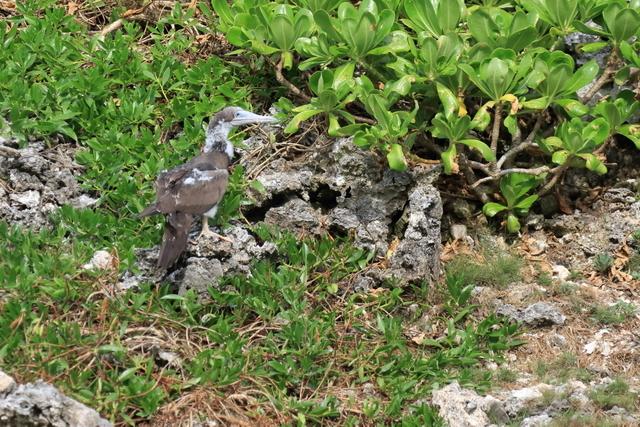 カツオドリ繁殖地 (11)