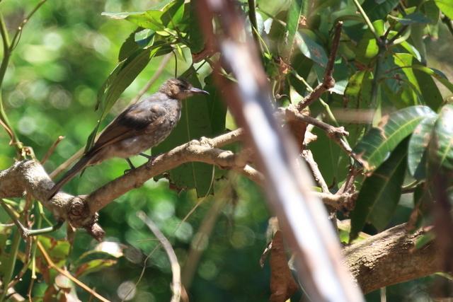 オガサワラヒヨドリ (1)
