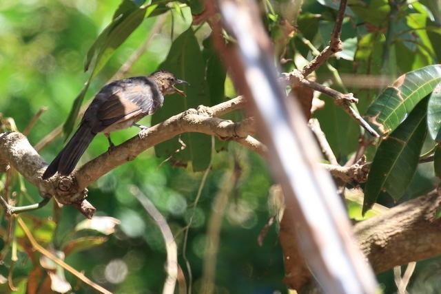 オガサワラヒヨドリ (2)