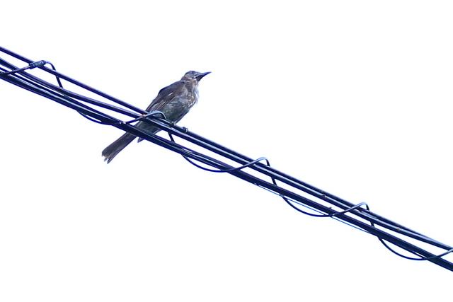 オガサワラヒヨドリ (4)