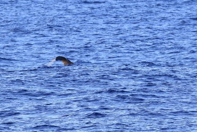 マッコウクジラ (3)