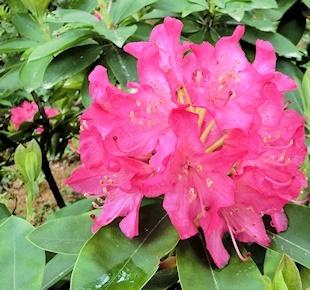 石楠花 (3)