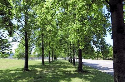 百合の木並木