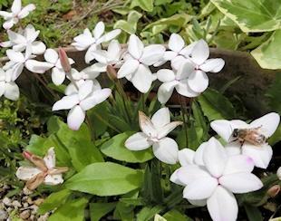 アッツ桜 (2)