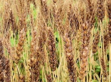収穫前の麦 (2)