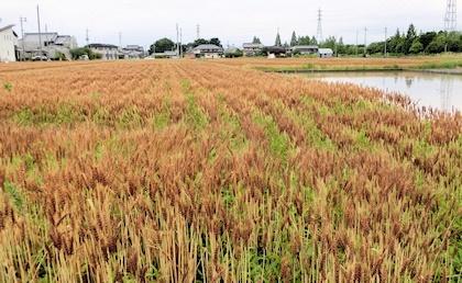収穫前の麦