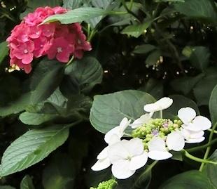 ガクアジサイ (3)