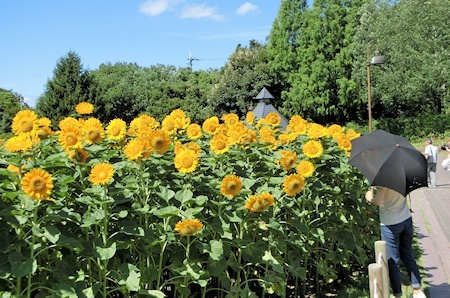 花の道ひまわり (3)