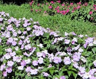 花の道ニューギニアインパチェンス