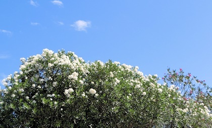 馬見花苑キョウチクトウ白