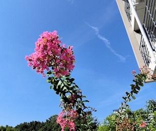 庭のサルスベリ (2)
