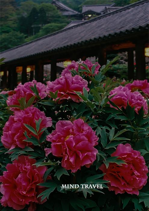 長谷寺 宵牡丹