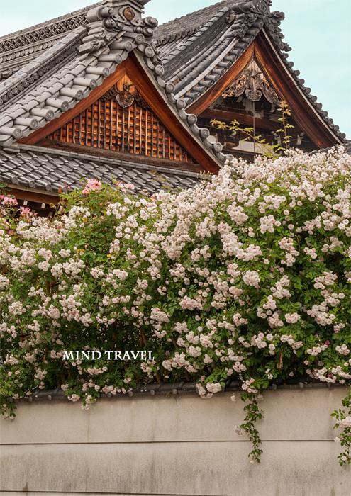 おふさ観音 白薔薇2