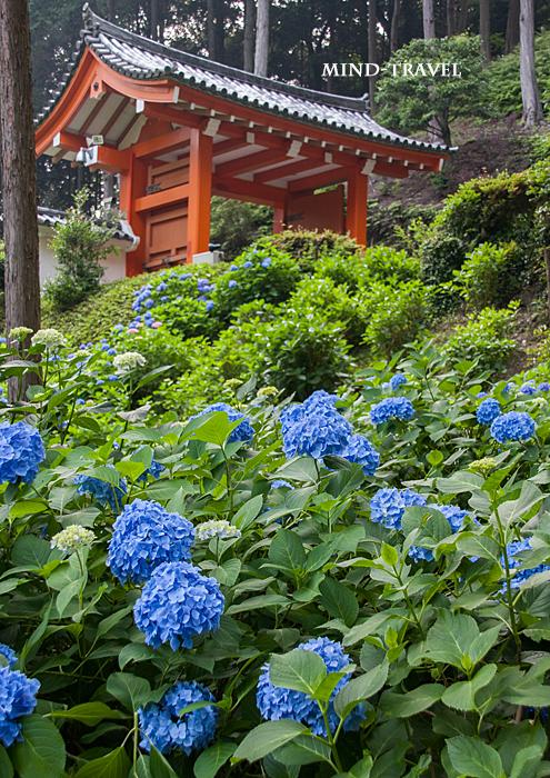 三室戸寺 紫陽花3