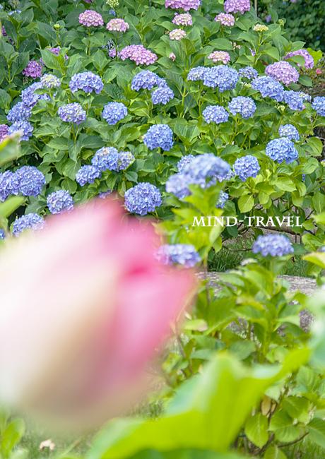 法金剛院 紫陽花と蓮