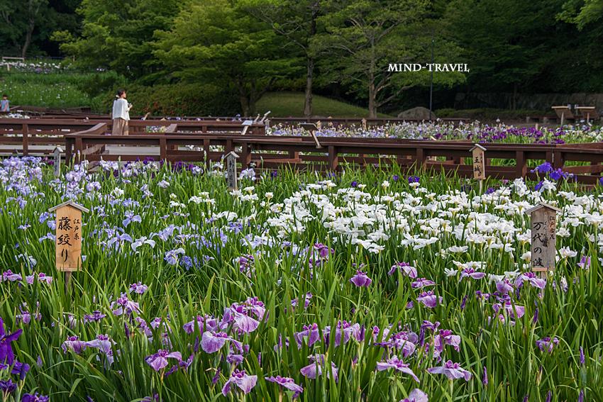 山田池公園 花菖蒲