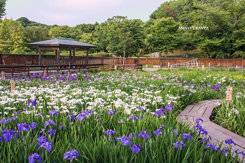 山田池公園 花菖蒲6