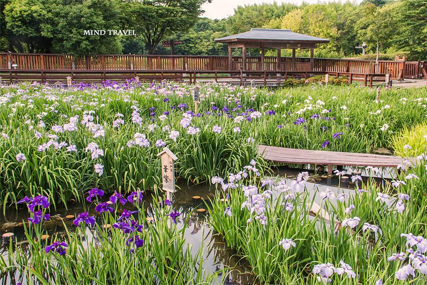 山田池公園 花菖蒲3
