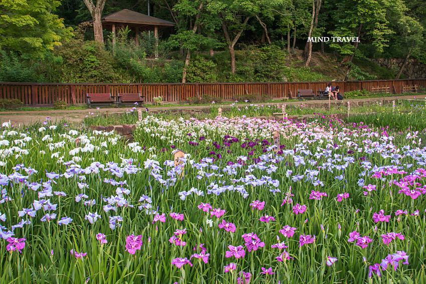 山田池公園 花菖蒲5
