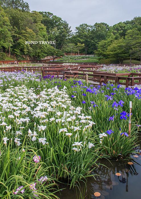 山田池公園 花菖蒲4