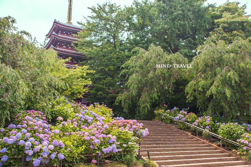 本土寺 五重塔 紫陽花