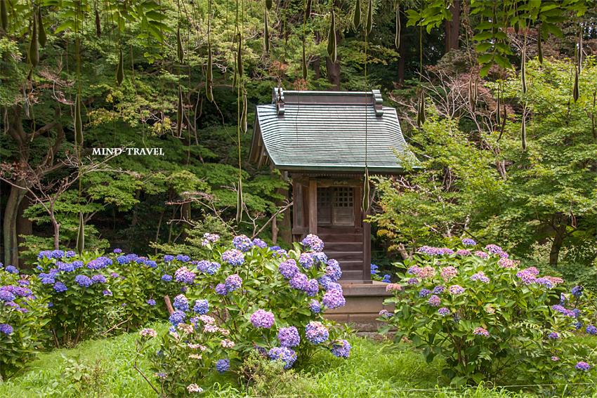 本土寺 弁天堂 紫陽花