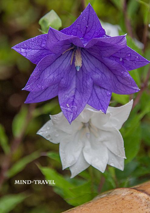 天徳院 八重咲きの桔梗