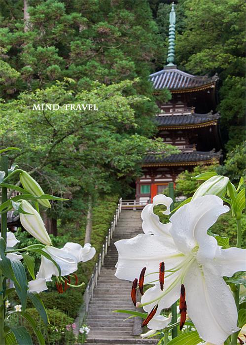 松尾寺-百合