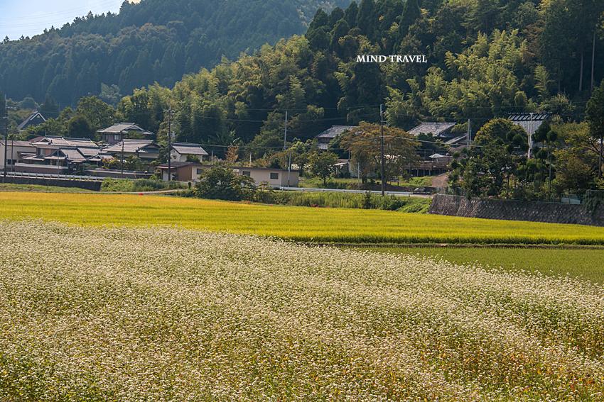 犬甘野 蕎麦畑3