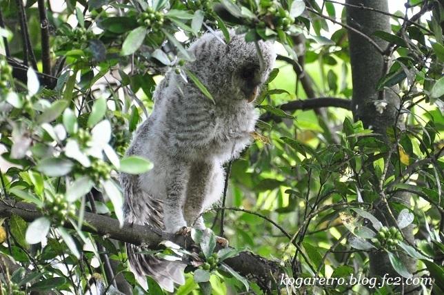 2017野木でフクロウの雛2