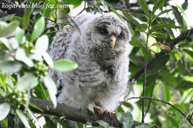 2017野木でフクロウの雛