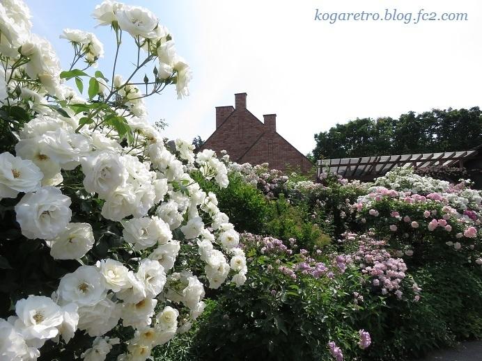 2017トレジャーガーデンのバラ